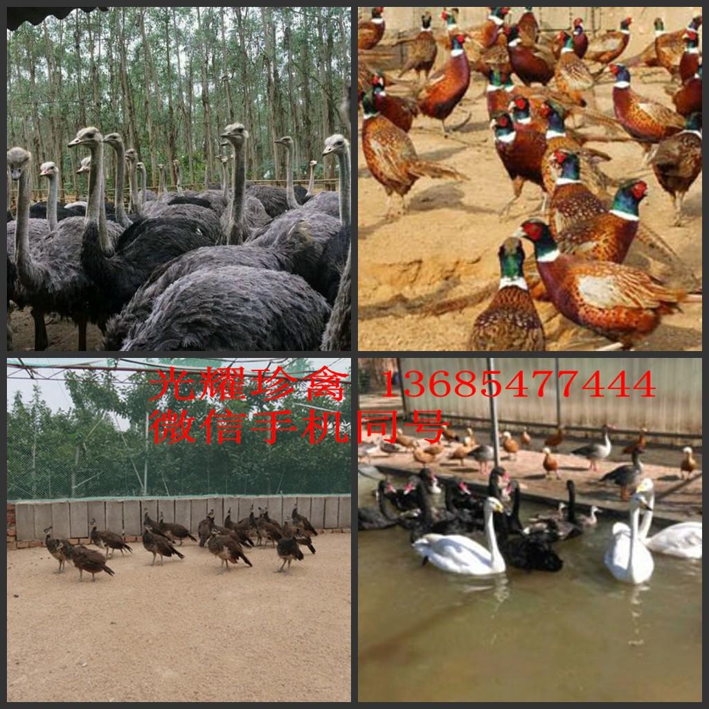养殖孔雀的场子在哪里灵寿县光耀珍禽养殖场