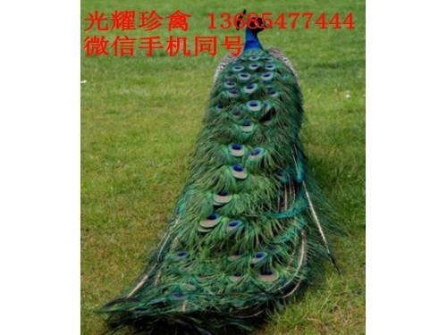 定西市临洮县孔雀养殖各项准备工作有那些珍禽图片