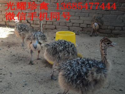 丽水市缙云县鸵鸟价格