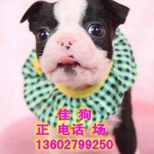 广州哪里有卖赛级CKU纯种英国斗牛犬法国斗牛犬