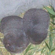 出售竹鼠,山鸡,豪猪,野兔等各种动物图片