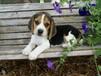 苏州哪里买狗比较好、苏州什么地方卖狗、比格犬图片