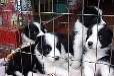 苏州哪里卖狗好、苏州什么地方买狗、边牧犬怎么挑选