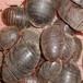 供兰州土元干货回收和甘肃地鳖养殖