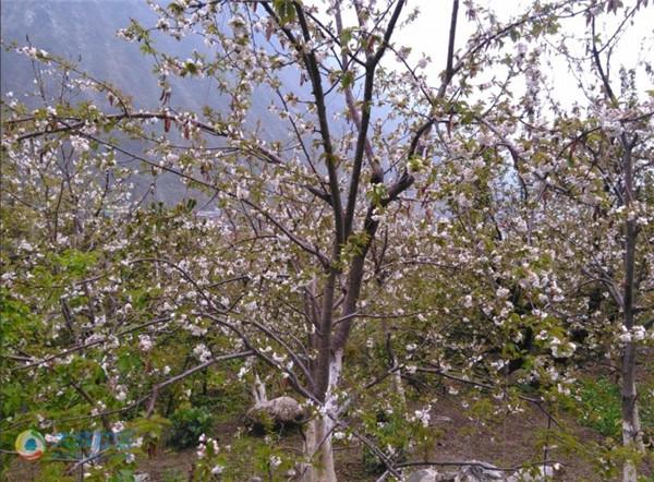 甘孜阿坝汶川西昌等地客户车厘子果树苗健康生长,适合载种,汶川车厘子果树苗图