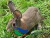 种兔选择很重要