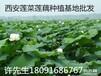 山西莲藕的种植方法视频,大同水泥池种莲藕套养泥鳅买卖