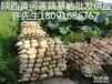 陕西白莲藕种子价格多少钱一斤有需要莲藕种苗的联系我