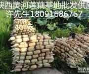 陕西安康莲藕新品种介绍种子苗出售价格关键栽培技术图片