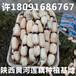 宁夏最大的蔬菜批发市场在哪里?银川莲藕供应商贩出售买卖价格