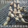 四川成都莲藕批发行情走势图价格表最大的产地在哪里存储保鲜方法