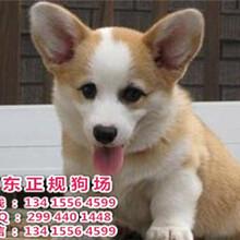 佛山宠物狗柯基犬短腿白鼻梁大眼睛,毛色佳柯基犬,出售喽