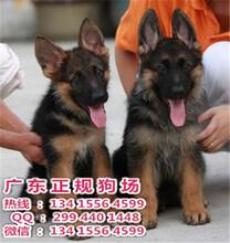 三水哪里有卖宠物狗正规狗场纯种德国牧羊犬健康终身保障签协议送狗用品