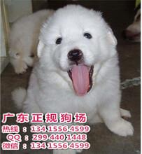 佛山禅城宠物狗哪里有卖极品赛级大白熊犬购买可签订活体协议禅城宠物狗大白熊犬价格多少钱
