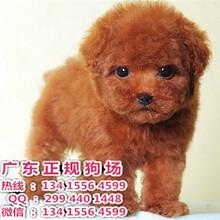 佛山市三水哪里有正规犬舍销售纯种茶杯泰迪玩具泰迪贵宾佛山三水宠物狗贵宾犬多少钱