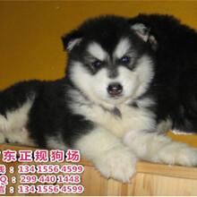 广东正规狗场直销宠物狗巨型阿拉斯加犬阿拉斯加犬价格