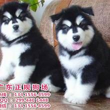 广东正规狗场直销宠物狗宠物犬阿拉斯加雪橇宝宝