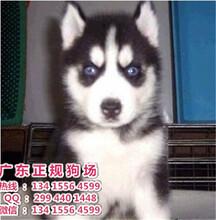 宠物狗,纯血赛级哈士奇幼犬(父母带均带血统)1200超低价