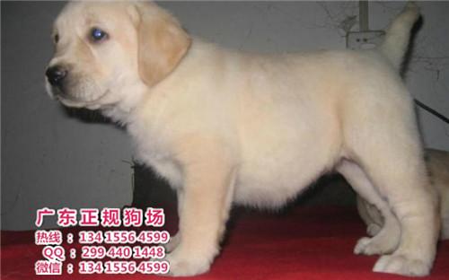 老婆与狗的情色生活_宠物狗,广东正规狗场出售纯种宠物狗导盲犬拉布拉多黑色米黄色整窝