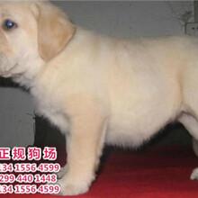 宠物狗,广东正规狗场出售纯种宠物狗导盲犬拉布拉多黑色米黄色整窝挑选