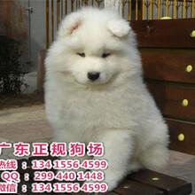 宠物狗,佛山正规狗场出售贵宾萨摩耶等各种宠物宝宝
