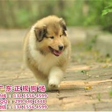 宠物狗,出售漂亮的苏格兰牧羊犬1100