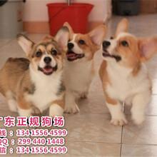 宠物狗,纯种柯基犬血统纯正短腿威尔士三双色