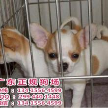佛山宠物狗,可爱苹果头吉娃娃纯种健康体型娇小质保三年