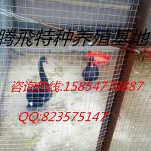 特种养殖基地出售孔雀