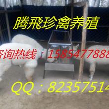 养殖场出售羊驼
