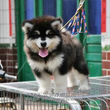 南昌什么地方有狗场卖宠物狗南昌哪里有卖纯种阿拉斯加