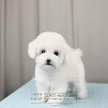 南昌什么地方有狗场卖宠物狗南昌哪里有卖纯种比熊