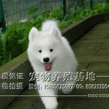 南昌什么地方有狗场卖宠物狗南昌哪里有卖纯种萨摩耶