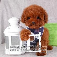 揭阳出售健康的泰迪熊犬揭阳有泰迪熊犬出售吗纯种泰迪熊犬价格