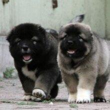 贵阳高加索犬贵阳哪里有高加索出售品质好的高加索护卫犬