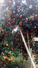 2016年广东砂糖批发商,种植砂糖桔大户,批发砂糖桔水果