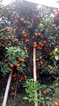 2016年砂糖桔水果供应商