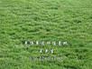 惠博草皮场大量生产优质草皮台湾草,马尼拉,大叶油,老鹰草,沙培草,夏威夷。量大从优