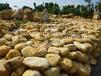 三月下扬州广场舞旁就要这种黄蜡石才好看,景观石场大量出售假山石