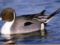 出售珍禽针尾鸭图片