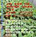 惠州批发供应香蕉树试管苗价格园洲镇(送货上门)