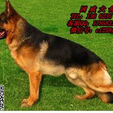 狗场售巨型狮子头大骨架高大威猛忠实护卫犬高加索犬