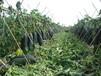 南本地黑皮冬瓜的营养价值