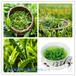 绿茶提取物绿茶粉茶多酚