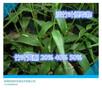 竹叶黄酮20%50%淡竹叶提取物淡竹叶粉图片