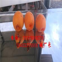 金太阳杏子去核切半切多半机器图片