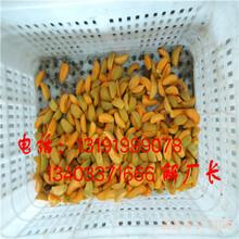 串枝红杏子切半切多半机器图片