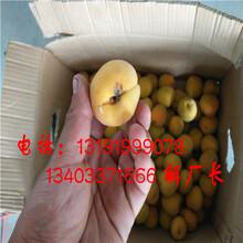 红玉杏子切半切多半机器图片