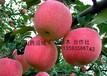 苹果苗、大量苹果苗出售、1公分苹果苗
