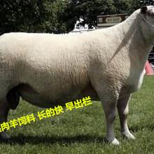 夏洛莱羊快速育肥饲料图片